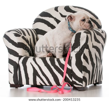 english bulldog puppy sitting in a chair on white background - stock photo