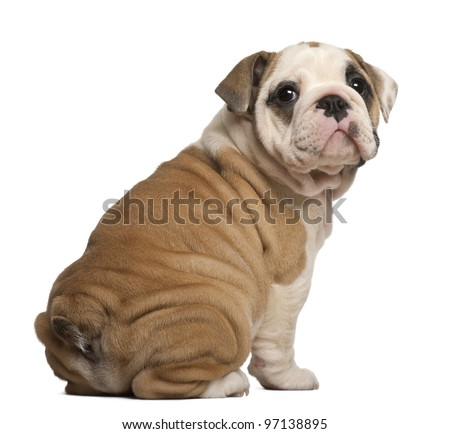 English Bulldog puppy, Sitting, looking back, 2 months old - stock photo