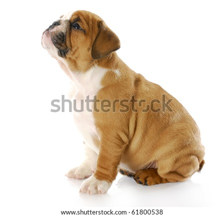 english bulldog puppy sitting looking up with reflection on white background - stock photo