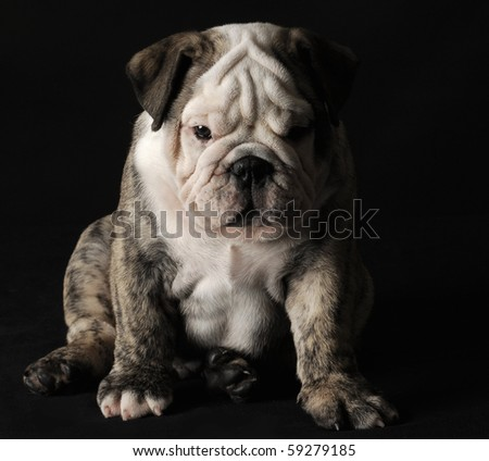 english bulldog puppy sitting on black background - stock photo