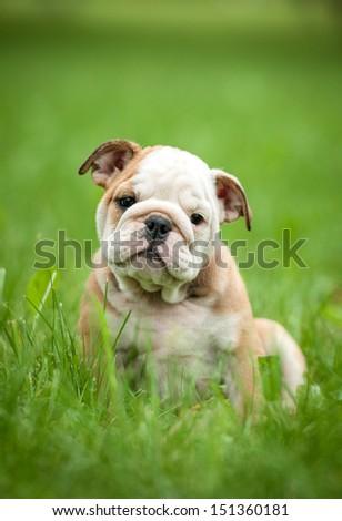 English bulldog puppy sitting on the grass - stock photo