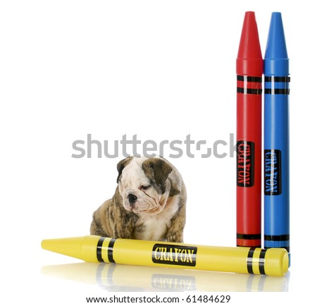 english bulldog puppy sitting with colorful crayons with reflection on white background - stock photo