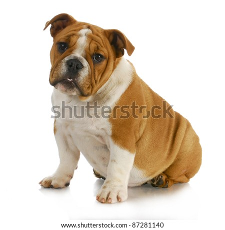 english bulldog puppy sitting with reflection on white background - 4 months old - stock photo