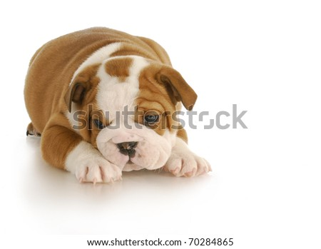 english bulldog puppy - six weeks old on white background - stock photo