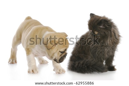 english bulldog puppy sniffing backside of persian kitten with reflection on white background - stock photo