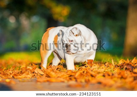 English bulldog puppy standing in the park in autumn - stock photo