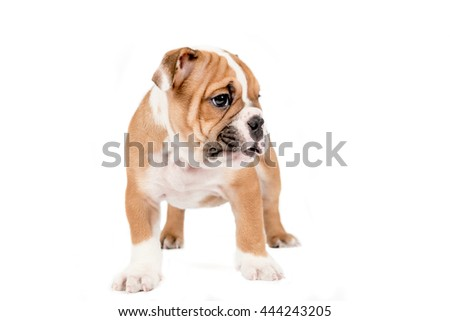 English bulldog puppy standing, isolated on white background