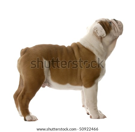 english bulldog puppy standing looking up isolated on white background