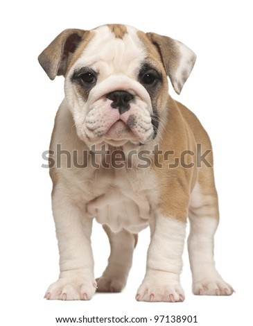 English Bulldog puppy, standing, 2 months old - stock photo