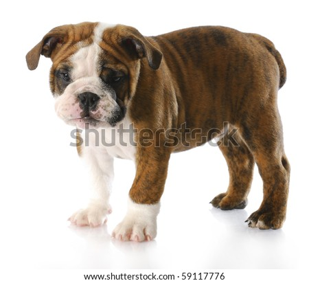 english bulldog puppy standing - nine weeks old - stock photo