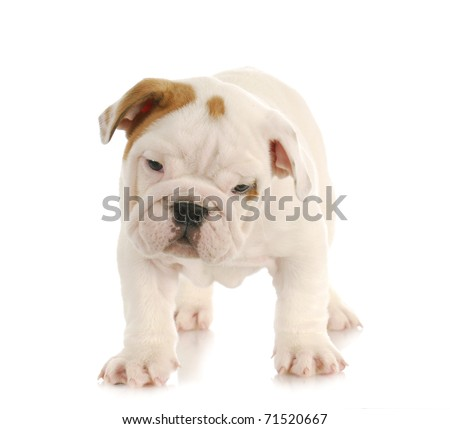 english bulldog puppy standing on white background - eight weeks old - stock photo