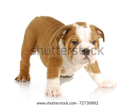 english bulldog puppy standing on white background - 8 weeks old - stock photo
