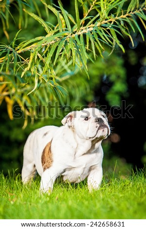 English bulldog puppy standing under a tree - stock photo