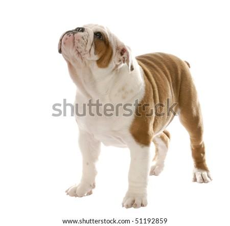 english bulldog puppy standing up isolated on white background - stock photo