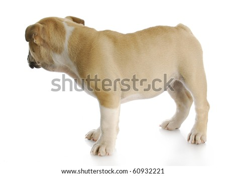 english bulldog puppy standing up looking away from viewer