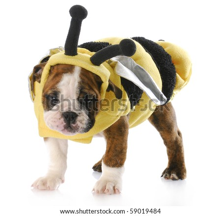 english bulldog puppy standing wearing bee costume with reflection on white background - stock photo