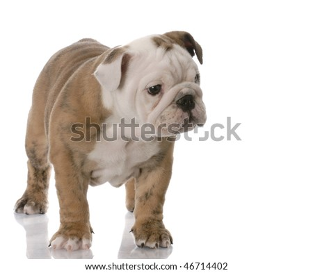 english bulldog puppy standing with reflection on white background - 9 weeks old - stock photo