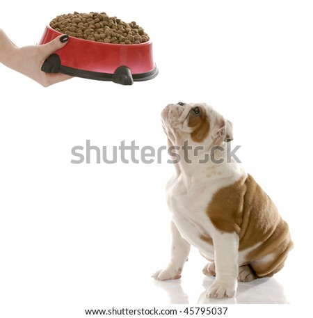 english bulldog puppy waiting to be fed - stock photo