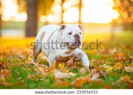 English bulldog puppy walking in the park in autumn - stock photo