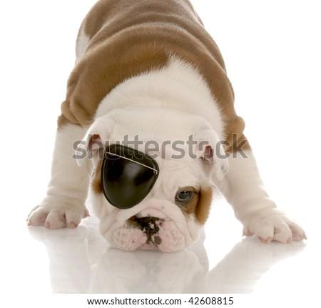 english bulldog puppy wearing an eye patch - stock photo