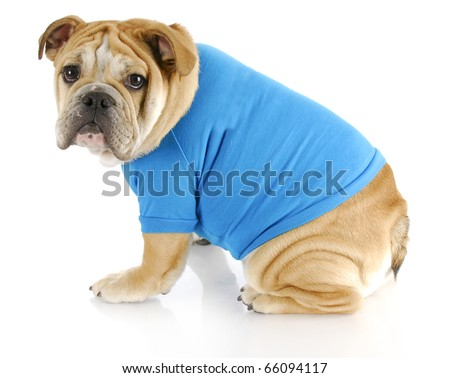 english bulldog puppy wearing blue sweater looking at viewer on white background - stock photo