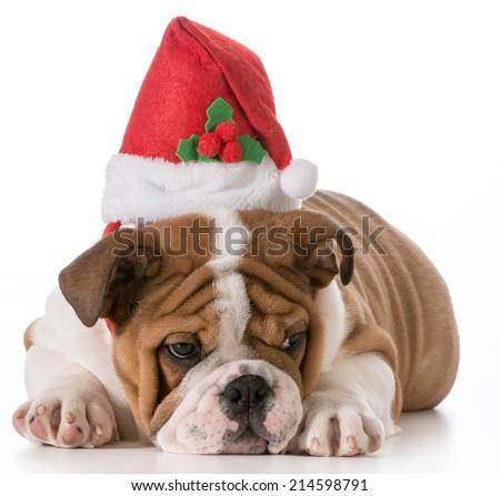 english bulldog puppy wearing christmas hat - stock photo