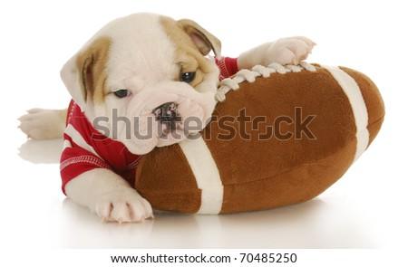 english bulldog puppy wearing football jersey laying on stuffed football - stock photo