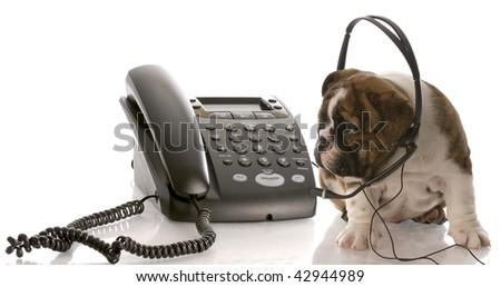 english bulldog puppy wearing headset talking on the phone - stock photo