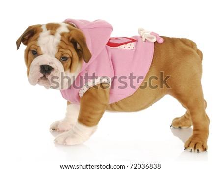 english bulldog puppy wearing pink dog coat - eight weeks old - stock photo