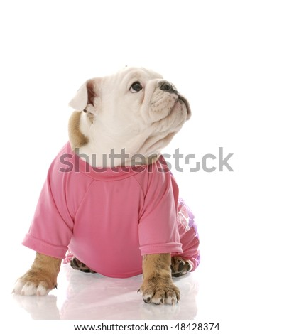 english bulldog puppy wearing pink dog coat with reflection on white background - stock photo