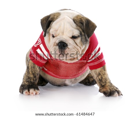 english bulldog puppy wearing red football jersey with reflection on white background - stock photo