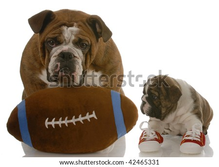 english bulldog puppy wearing running shoes sitting beside dad ready to teach the game - stock photo