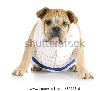 english bulldog puppy wearing shirt with muscles on white background