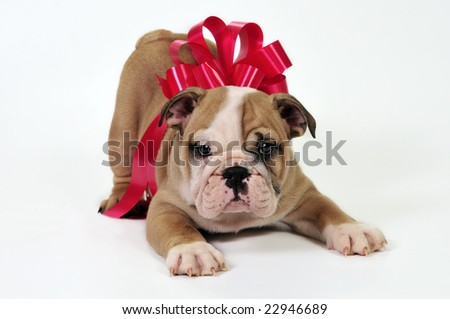English bulldog puppy with a bow , waiting to be given as a present. - stock photo