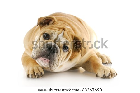 english bulldog puppy with cute expression laying down looking at viewer with reflection on white background