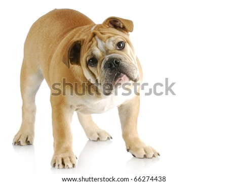 english bulldog puppy with cute expression standing with reflection on white background - stock photo
