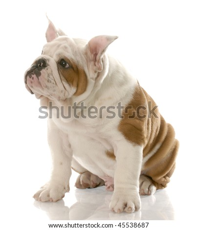 english bulldog puppy with ears standing straight up - three months old