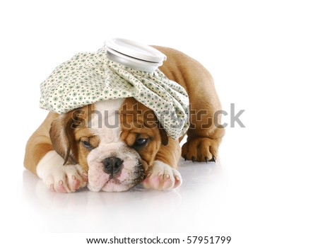 english bulldog puppy with hot water bottle on head with reflection on white background - stock photo