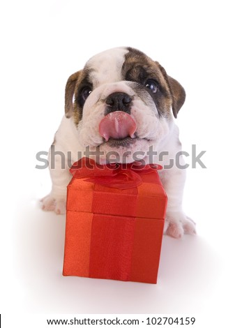 English bulldog puppy with red gift box isolated on white - stock photo