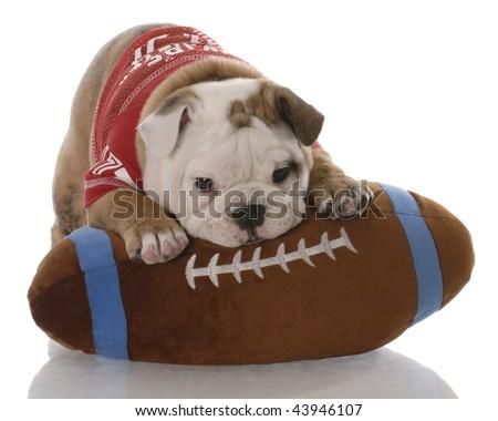 english bulldog puppy with stuffed football - nine weeks old - stock photo