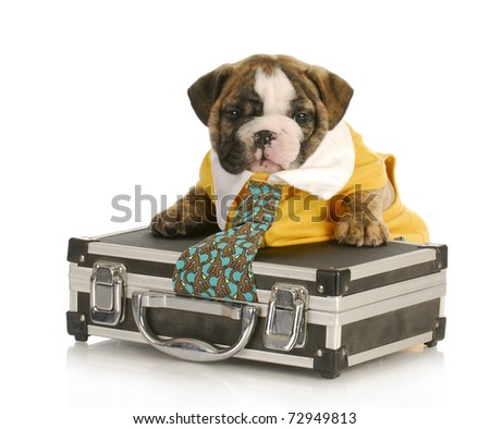 english bulldog puppy with tie stuck in a briefcase on white background - stock photo
