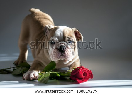 English bulldog puppy with valentine rose for present. - stock photo