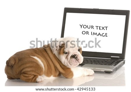 english bulldog puppy working on computer - add your own text or image - stock photo