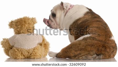 english bulldog reaching out and kissing a teddy bear - stock photo