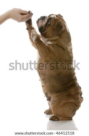 english bulldog reaching up to hands holding dog food on white background - stock photo