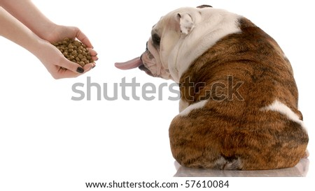 English bulldog refusing to eat food that is offered - stock photo