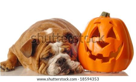 english bulldog resting beside a festive halloween pumpkin - stock photo