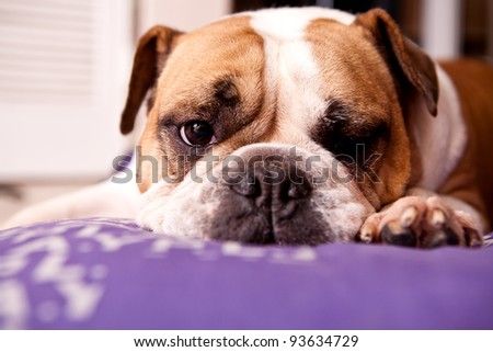 English Bulldog resting on a lilac bed looking at the camera