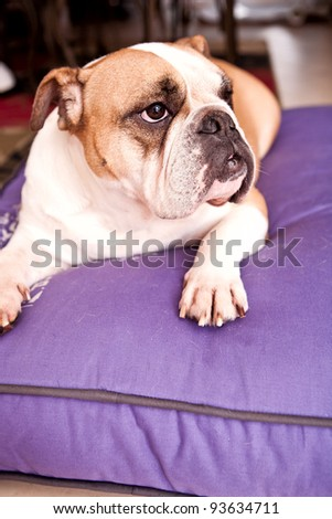 English Bulldog resting on a lilac bed looking away from the camera
