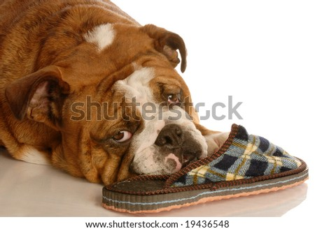 english bulldog resting with a favorite pair of slippers - stock photo